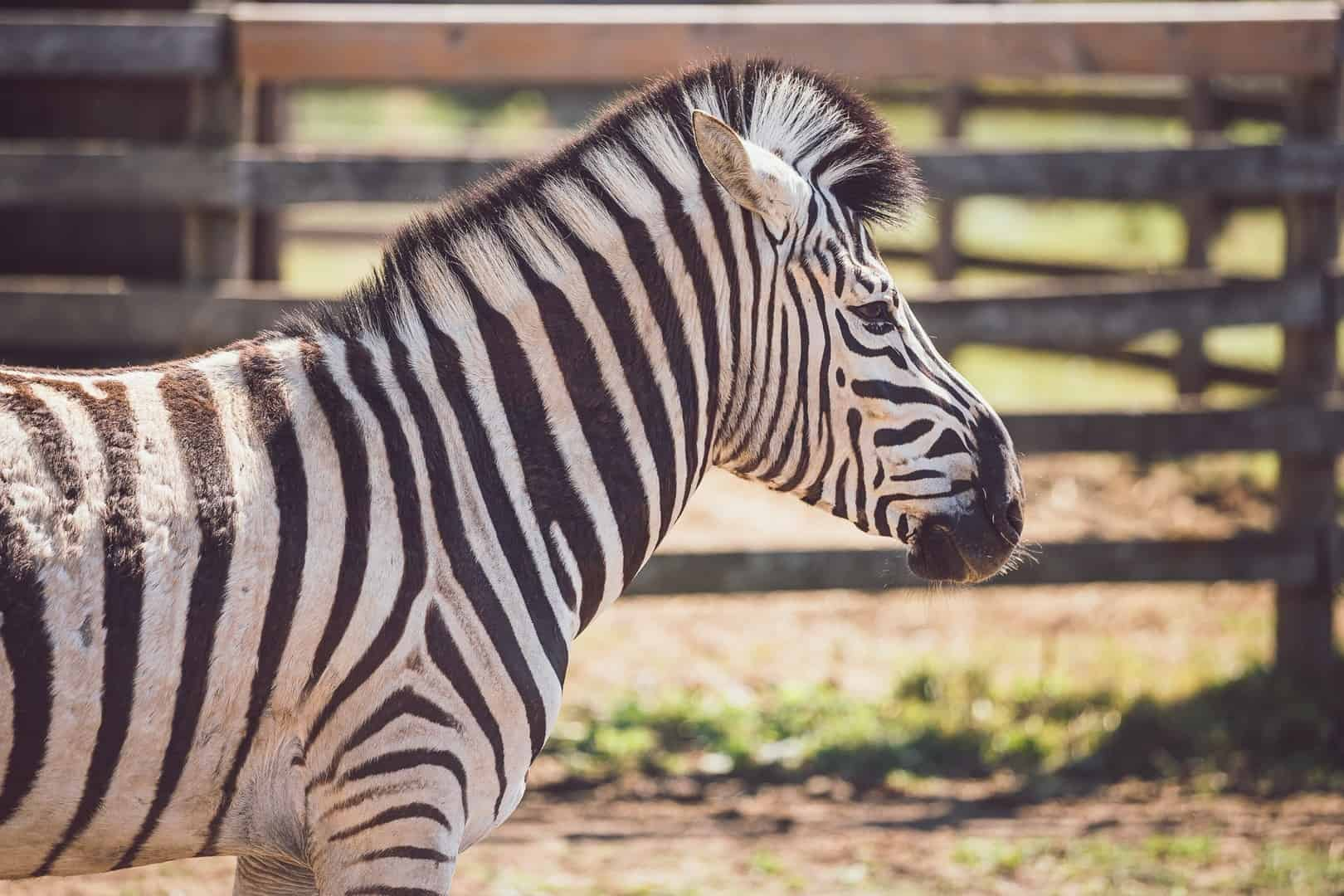 Zebra in the enclosure in Greenview Zoo