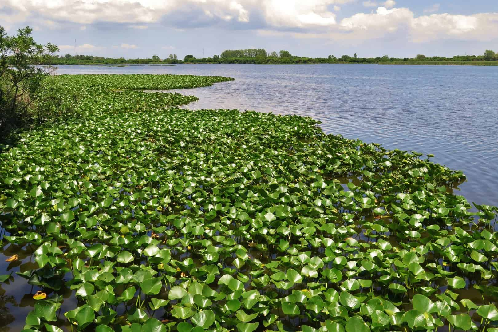 Water plants on the Lake Erie in Wheatley Provincial Park