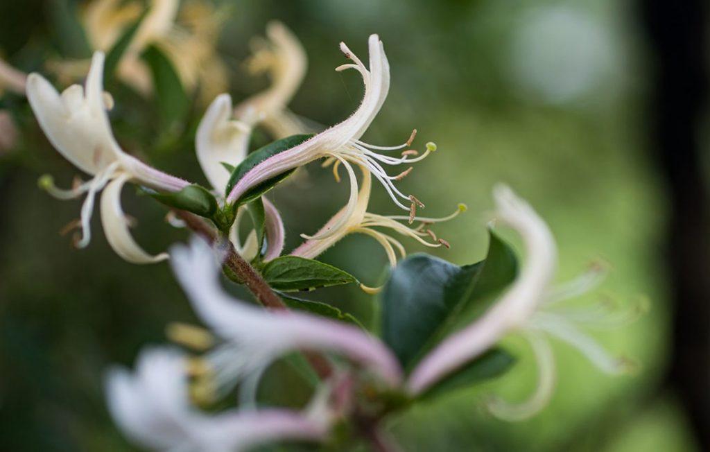 Flowers of Lonicera japonica